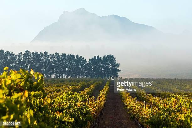 Vineyard, valley, Stellenbosch, Cape Town