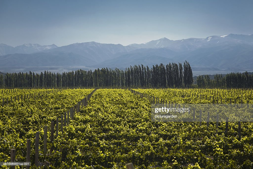 Vineyard with Andean mountain range in background : Foto stock