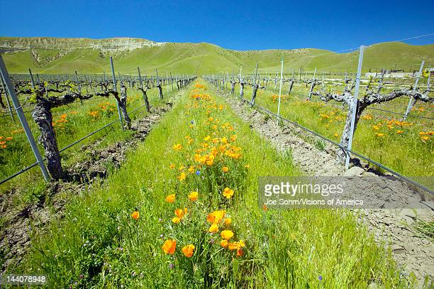 Vineyard with bright colorful flowers and California poppies off Shell Road near highway 58 Bakersfield CA
