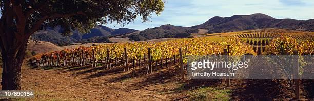 vineyard with fall foliage; mountains beyond - timothy hearsum stock-fotos und bilder