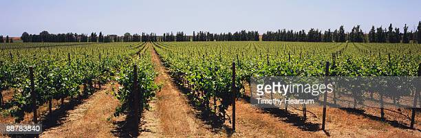 vineyard with fir trees in background - timothy hearsum stock pictures, royalty-free photos & images