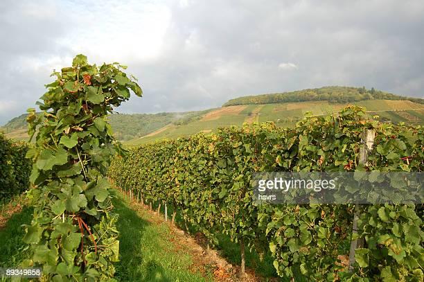 ブドウ園、leafs 、夏、モーゼルヴァレイ,ドイツ - コブレンツ ストックフォトと画像