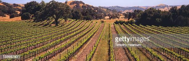vineyard with live oaks, golden hills - timothy hearsum ストックフォトと画像