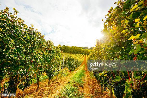 Vineyard with red grapes in late summer sunset