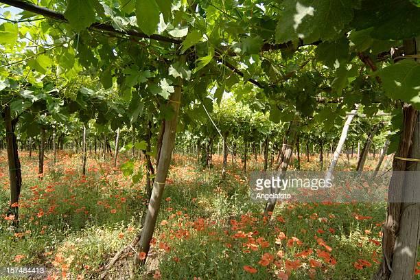 Vineyard mit roten Poppies