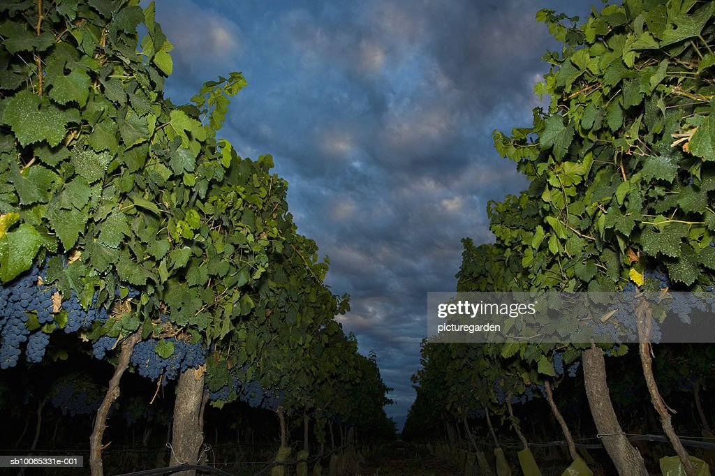 Vineyard with storm clouds : Foto stock