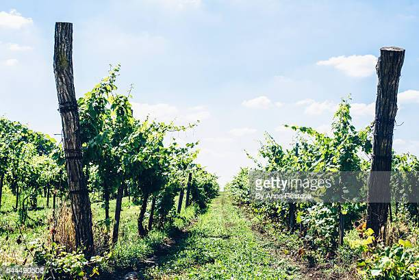 Vineyard with wooden poles and white grapes growing in middle of summer in Hungary