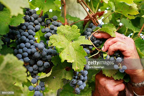 Vineyard worker selecting grapes