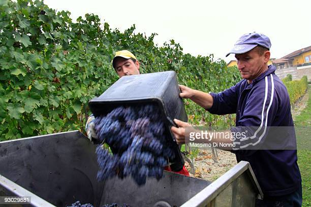 Vineyard workers dump a bin of freshly harvested ripe clusters of Nebbiolo grape on October 6 2009 in Novello near Cuneo Italy Barolo wine is...