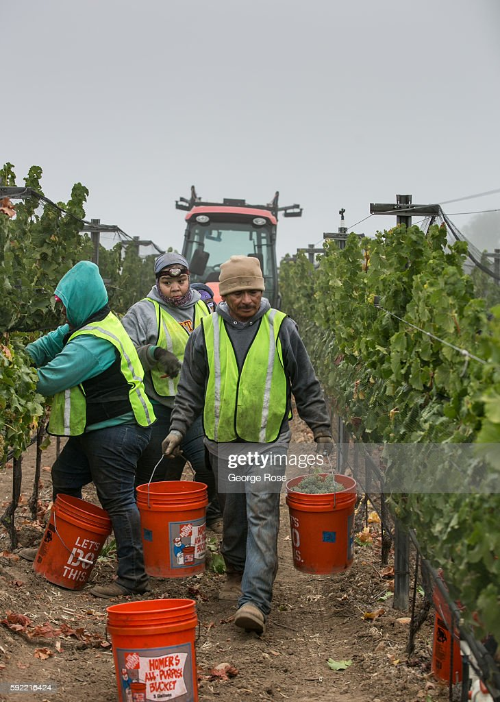 Vineyard workers pick ripe sauvignon blanc grapes in a Happy Canyon vineyard before sunrise on August 15, 2016, near Santa Ynez, California. The 2016 grape harvest in California got off to another early start, with vintners racing against the heat and fifth year of drought conditions.