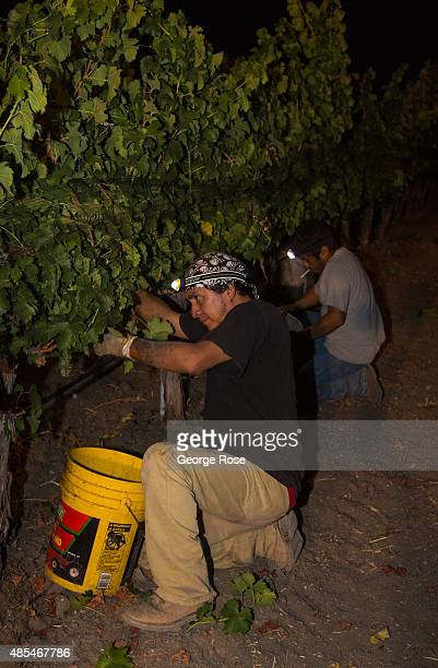 Vineyard workers pick ripe sauvignon blanc grapes under lights at Stolpman Vineyards before sunrise on August 20 near Los Olivos California Possibly...