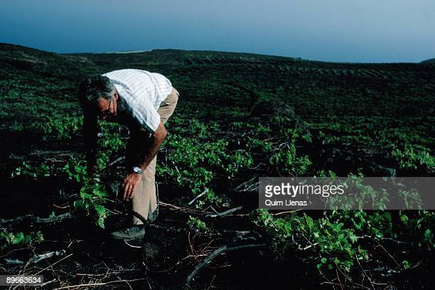 Vineyards A man supervises the vineyards Fuencaliente de la Palma Tenerife province