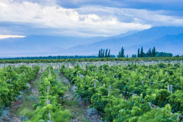 Vineyards and Andes mountains at sunset at a winery in Uco Valley, Valle de Uco, a wine region in Mendoza Province, Argentina, South America