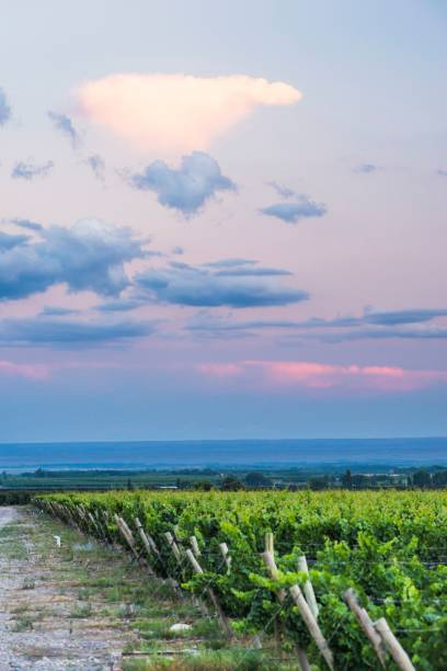 Vineyards and Andes mountains at sunset at a winery in Uco Valley, Valle de Uco, a wine region in Mendoza Province, Argentina, South America, background with copy space
