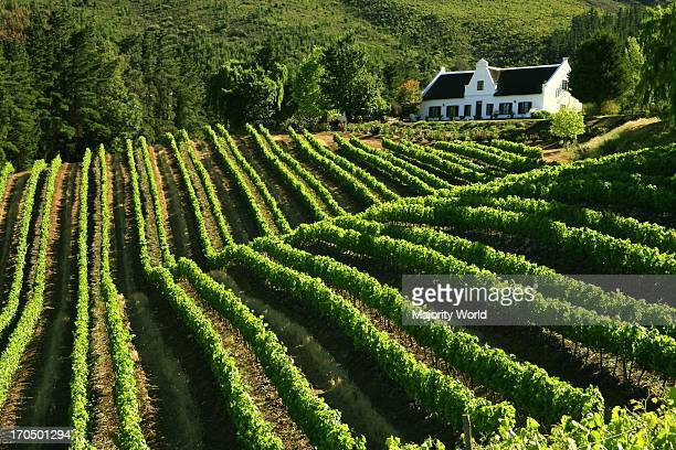 vineyards and grapes near Franschhoek the Wine Route Western Cape South Africa