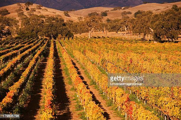 Vineyards and oak trees in the autumn Santa Ynez Valley near Santa Barbara California