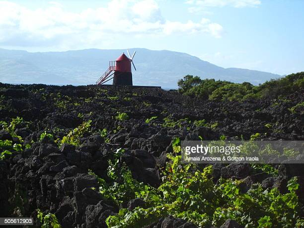 Vineyards and windmill in Pico island (Azores)