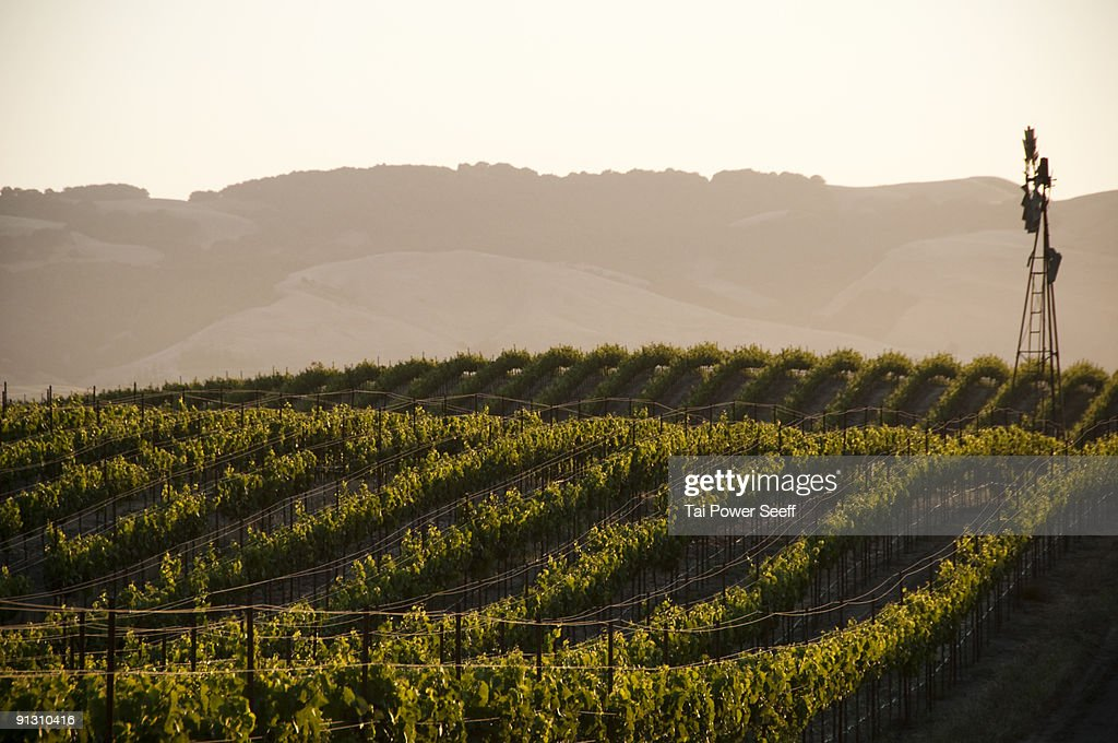 Vineyards and windmill near Sonoma, CA. : Stock Photo