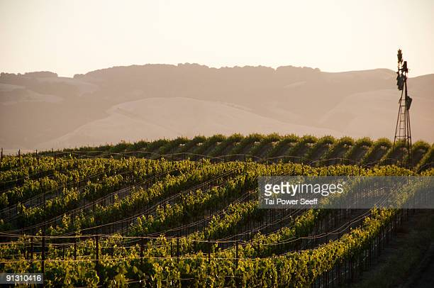 vineyards and windmill near sonoma, ca. - sonoma county stock pictures, royalty-free photos & images