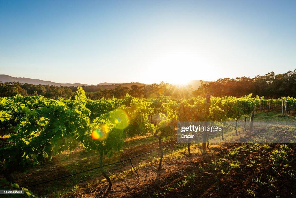 Vineyards and wine-making of quality wines : Stock Photo