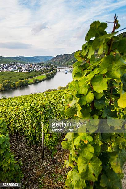 Vineyards around the Moselle at Trittenheim, Moselle Valley, Rhineland-Palatinate, Germany, Europe