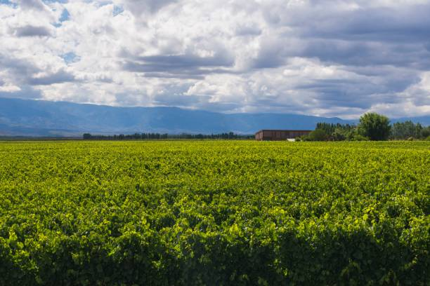 Vineyards at a winery in the Uco Valley, Valle de Uco, a wine region in Mendoza Province, Argentina, South America