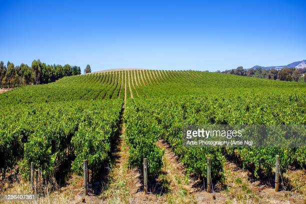 vineyards at barossa valley, south australia - barossa valley stock pictures, royalty-free photos & images