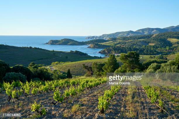 banyuls vineyards at sunrise - languedoc rousillon stock pictures, royalty-free photos & images