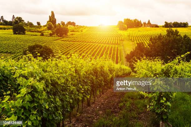 vineyards at sunset. bordeaux, france - gironde stock pictures, royalty-free photos & images