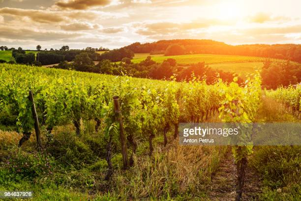 Vineyards at sunset. Gascony, France