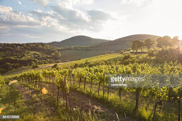 vineyards at sunset in vienna, austria - vienna austria stock pictures, royalty-free photos & images