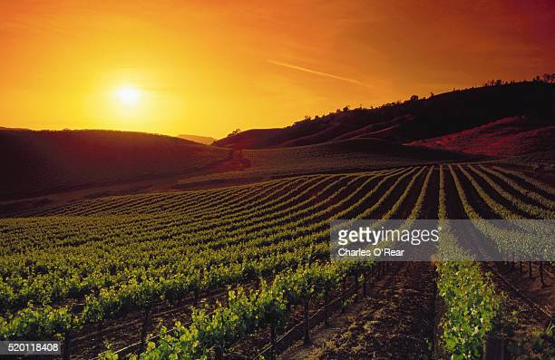 vineyards at sunset - vineyard stock pictures, royalty-free photos & images