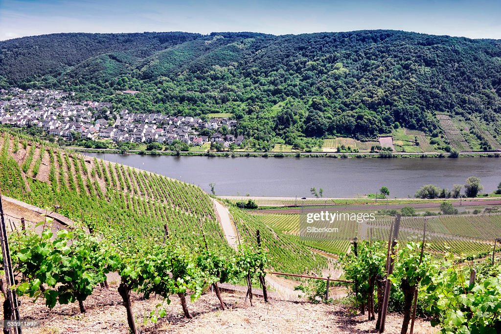 Vineyards at the Mosel, Germany : Stock Photo