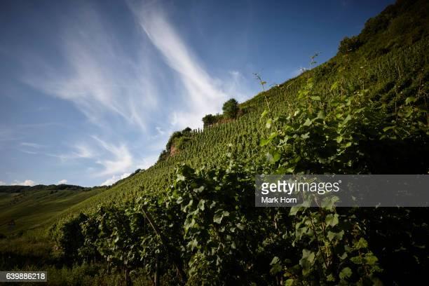 vineyards between klüsserath and trittenheim in moselle valley in summer, germany - moseltal stock-fotos und bilder