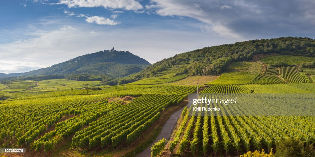 Vineyards by the footsteps of the mountains in Alsace, France : Stock Photo