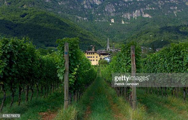 Vineyards, Caldaro, South Tyrol, Italy