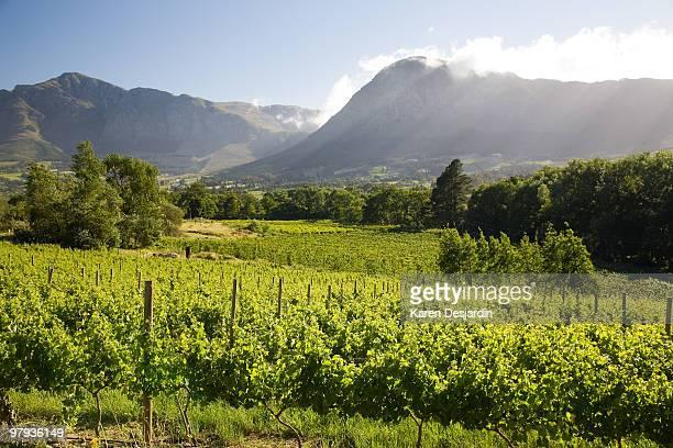 Vineyards, Franschhoek, South Africa