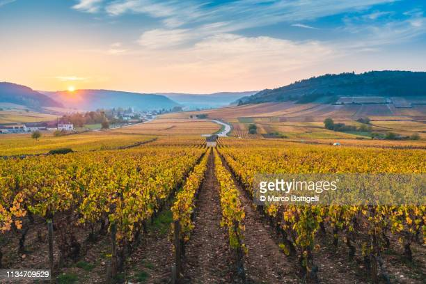 vineyards in autumn at sunset, burgundy, france - france stock pictures, royalty-free photos & images