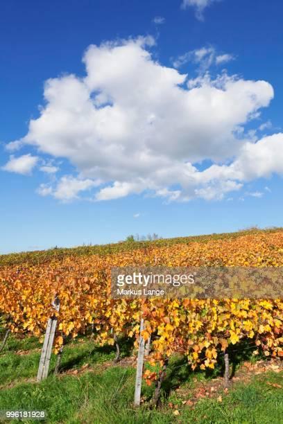 Vineyards in autumn, Esslingen, Baden-Wuerttemberg, Germany