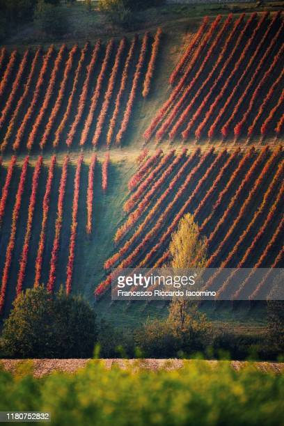 vineyards in autumn, geometric shape - maroon stock pictures, royalty-free photos & images