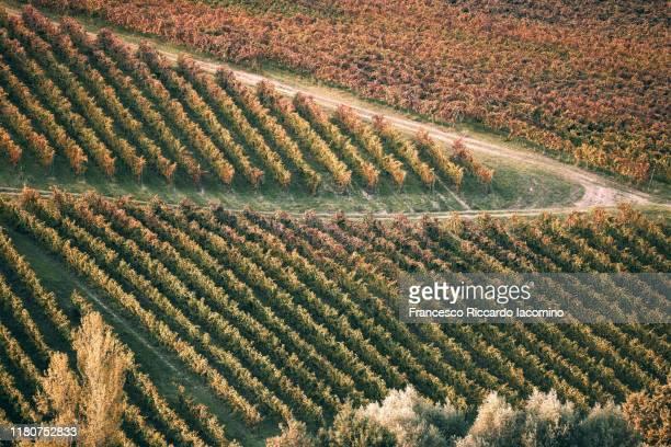 vineyards in autumn - iacomino italy foto e immagini stock