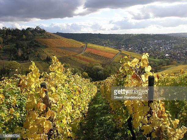 vineyards in autumn Uhlbach, Stuttgart, Baden Wuerttemberg, Germany