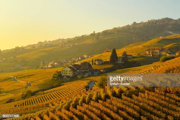 Vineyards in autumn with view of winemaking villages Epesses and Riex, evening light, Lavaux, Canton of Vaud, Switzerland