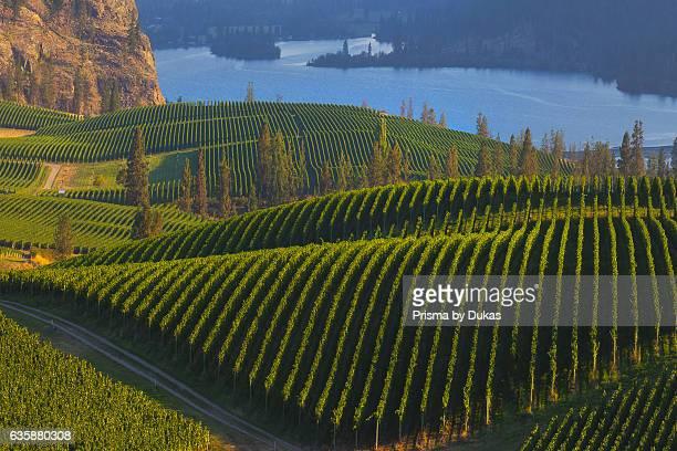 Vineyards in British Columbia.