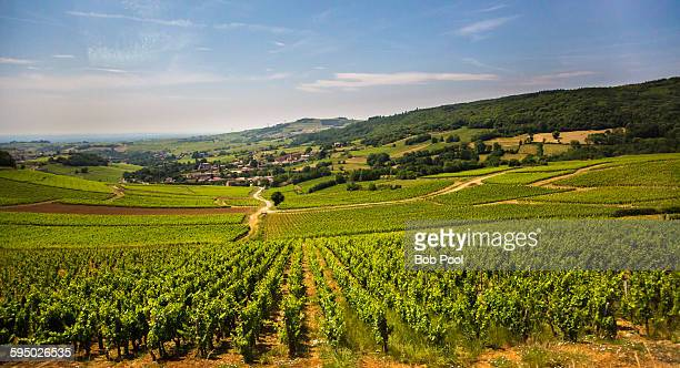 Vineyards in Burgundy region, France