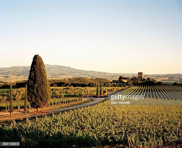 vineyards in classic tuscan landscape - モンタルチーノ ストックフォトと画像