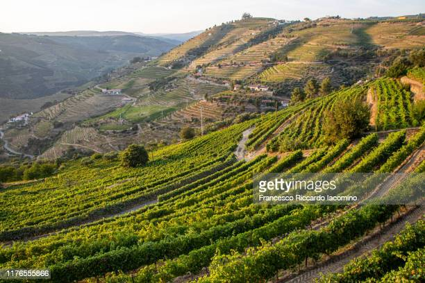 vineyards in douro at harvest time. portugal, europe - traditionally portuguese stock pictures, royalty-free photos & images