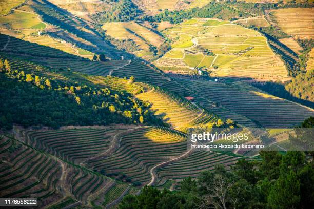 vineyards in douro at harvest time. portugal, europe - iacomino portugal foto e immagini stock