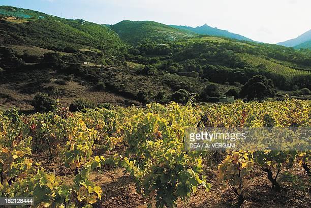 Vineyards in Gallura in the Tempio Pausania area, Sardinia, Italy.