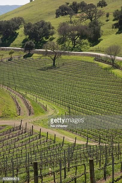 vineyards in los olivos - los olivos california stock pictures, royalty-free photos & images